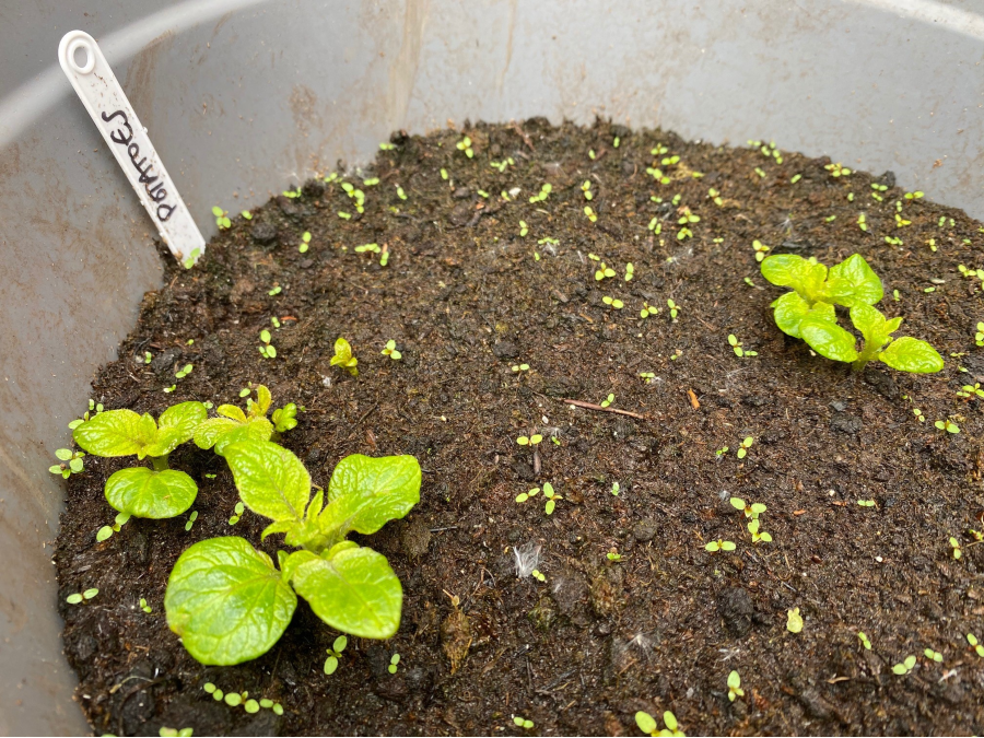 potatoes with leaves showing in need of earthing up