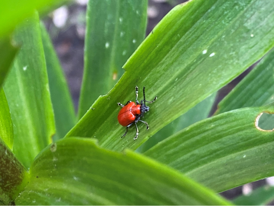 red lily beetle on green lily plant