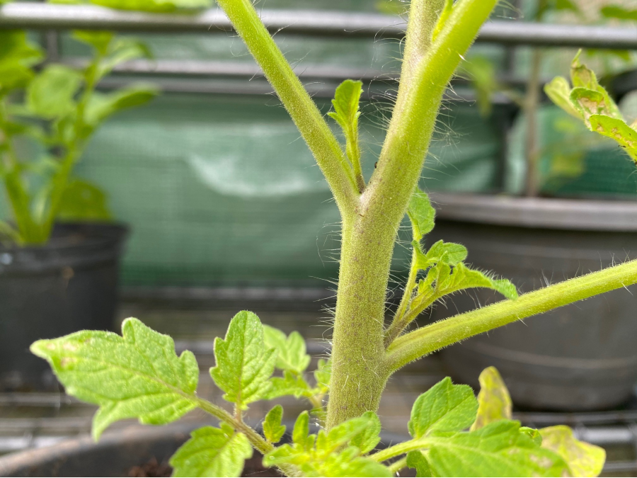 Tomato plant with sideshoots