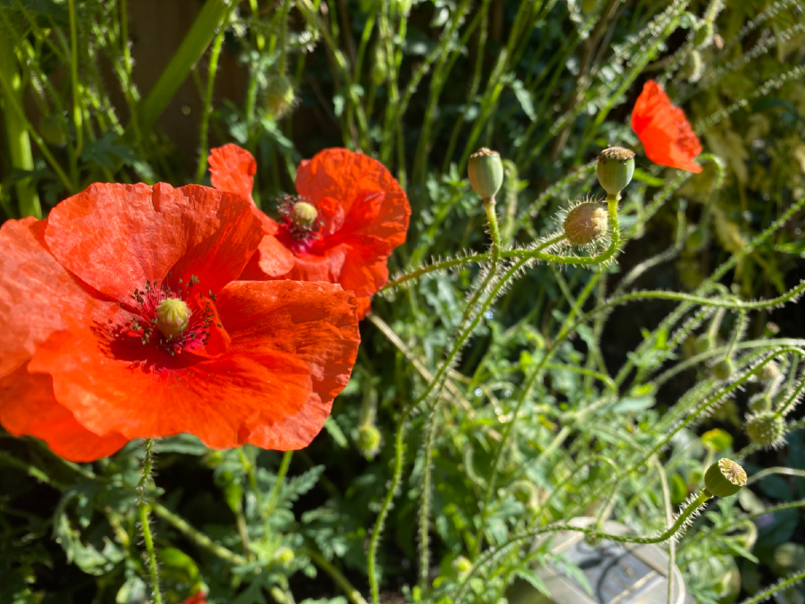 Red poppies growing in a garden in September